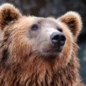 Trump's Attempt to Re-Open Alaska's National Preserves to Cruel Hunting Practices
