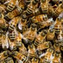 The Harrowing Showdown Between Bees and Climate Change
